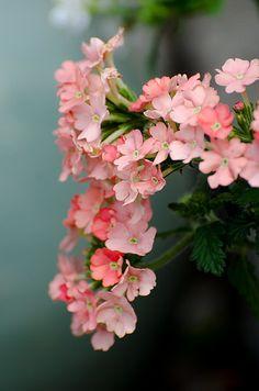 Garden verbena / Verbena hybrida