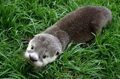 Toto the otter