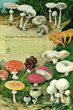 vintage illustration - mushrooms not for the diiner table Poisonous Mushrooms, Wild Mushrooms, Stuffed Mushrooms, Mushroom Art, Mushroom Fungi, Mushroom Guide, Botanical Illustration, Botanical Prints, Ecole Art