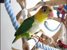 Gizmo -- 14 week old Baby Lime Thighed Caique - YouTube