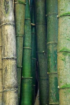 "Shades of green. Bamboo From ""the poetry of material things"""