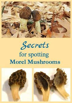 Learn the secrets for spotting more morel mushrooms each spring and enjoy morel mushroom hunting more.