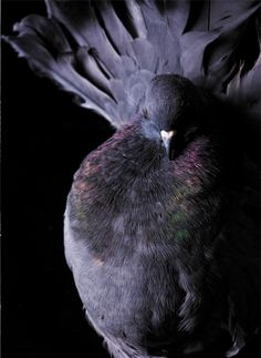 beautiful purple pigeon!  Just what I need for English Christmas pie!