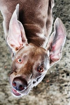you can never have a bad day with a Weimaraner to make you laugh