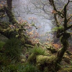 Wistman's Wood, Dartmoor, Devon, England by…