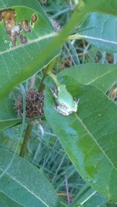 #greytreefrog found in my garden