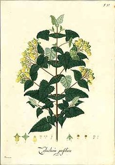 104527 Calceolaria perfoliata L.f. / Mutis, J.C., Drawings of the Royal Botanical Expedition to the new Kingdom of Granada, t. 1625 (1783-1816) [Antonio Barrionuevo]
