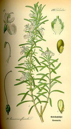 rosmery botanical illustration - Buscar con Google