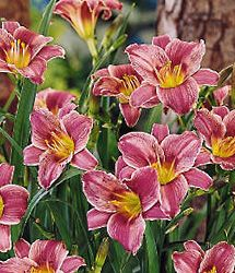 Image result for little missy daylily