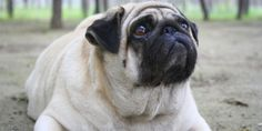 """""""Care must be taken to prevent a pug from becoming overweight. Small Dog Breeds, Small Breed, Small Dogs, Overweight Dog, Dog Health Tips, Pet Health, Animal Nutrition, Pet Nutrition, Pet Supplements"""