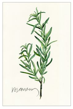 Rosemary Focaccia for Herbs Illustration, Botanical Illustration, Botanical Drawings, Botanical Prints, Watercolor Plants, Watercolor Paintings, Rosemary Focaccia, Plant Tattoo, Kitchen Art