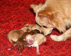 """""""Everyone alright? 12 Hours after birth"""" Photo by Jane Cantral Small Breed, Small Dogs, Birth Photos, Chihuahua Puppies, Make You Smile, Creatures, Babies, Amazing, Cute"""