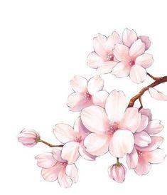 de flores ✿НЯН (ノ◕ヮ◕)ノ*:・゚✧ ✿ - - ✿НЯН (ノ ◕ ヮ ◕) ノ *: ・ ✧ ✿- # НЯН # ノ ヮ ノ Watercolor Flowers, Watercolor Paintings, Cherry Blossom Drawing, Cherry Blossom Watercolor, Japanese Cherry Blossoms, Art Sketches, Art Drawings, Flower Drawings, Japon Illustration