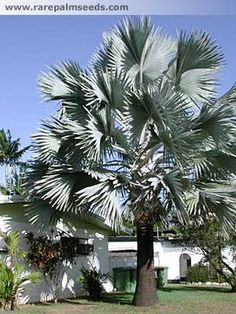 Garden Flowers - Annuals Or Perennials Bismarck Palm Spread Bismarckia Nobilis Palm Garden, Garden Trees, Tropical Garden, Tropical Plants, Trees And Shrubs, Trees To Plant, Landscape Design, Garden Design, Palm Trees Landscaping