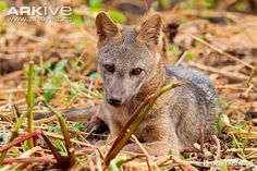 See videos and photos of the Crab-eating fox on ARKive. The crab-eating fox is classified as Least Concern (LC) on the IUCN Red List.
