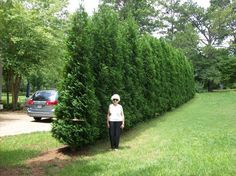 The American Pillar - Thuja Arborvitae fast growing tree for a natural privacy fence. Privacy Plants, Privacy Landscaping, Front Yard Landscaping, Landscaping Ideas, Landscaping Software, Farmhouse Landscaping, Landscaping Melbourne, Planting For Privacy, Front Yard Hedges