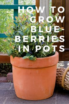 How to Grow Blueberries In Pots Imagine never having to go to the store for berries again.it's more doable than you might think. Use this guide to grow blueberries in pots at home. Lawn And Garden, Garden Pots, Potted Garden, Herb Garden, Home And Garden, Organic Gardening, Gardening Tips, Gardening Services, Gardening Gloves