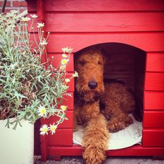 """Next week I'll hang pictures!"" #dogs #pets #Airedales #puppies Facebook.com/sodoggonefunny"
