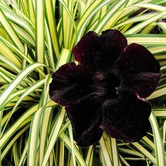 Perfect for any situation 'Little Black Dress' petunia makes a bold fashion statement whether you grow it in containers or in a border! http://www.bhg.com/gardening/gardening-trends/new-annuals-for-2015/?socsrc=bhgpin051015petunialittleblackdress&page=11