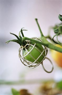 Tomato ring. Hilde de Decker
