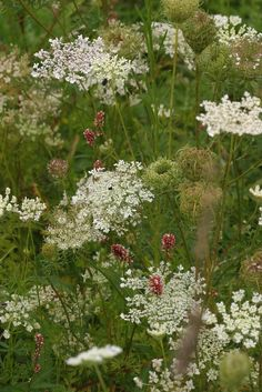 Daucus carota (common names include wild carrot, (UK) bird's nest, bishop's lace, and Queen Anne's lace