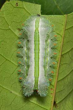 """Stinging Nettle Slug Caterpillar (Cup Moth, Limacodidae) """"Toothbrush"""""""