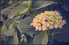 Hydrangea by Lazarescu R. Catalin on Hydrangea Not Blooming, Hydrangea Flower, Flowers, Nature, Plants, Beautiful, Naturaleza, Plant, Royal Icing Flowers