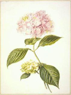 Hydrangea Botanical Art  | Hydrangea macrophylla var. hortensia (French Hydrangea or Hortensia ...