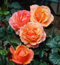 Rosa Grandiflora (Anna's Promise™ <b><i>New 2015</b></i>)