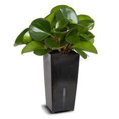 Peperomia Waterfresh® Large - EasyIndoorPlants. Elke plant wordt geleverd in een stijlvolle pot met het unieke Waterfresh® watergeefsysteem. Deze geeft je plant automatisch water wanneer hij dorstig is.