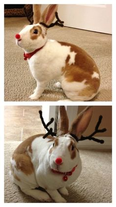Rudolph the red nosed... rabbit?