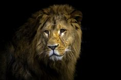 The Lionking by Michael - Photo 128442685 - 500px