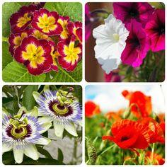 significato-dei-fiori-primula-petunia-passiflora-papavero