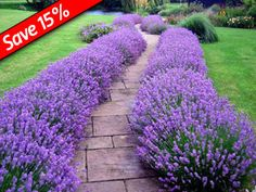 Lavender Hidcote makes a great low-growing hedge! Very drought-tolerant & thrives in full sun, Highly fragrant foliage & flowers Landscape Plans, Landscape Design, Garden Design, Contemporary Landscape, Driveway Entrance Landscaping, Backyard Landscaping, Driveway Design, Front Walkway, Landscaping Ideas