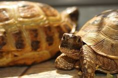 1. The Vet - 7 Tips on Caring for a Russian Tortoise ... → Health More
