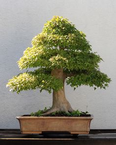 A Trident Maple (Acer buergerianum) bonsai, North American Collection 202, on display at the National Bonsai & Penjing Museum at the United States National Arboretum. According to the tree's display placard, it has been in training since 1975. It was donated by Ted C. Guyger.