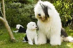 Old English Sheepdog mom with Puppies ♥