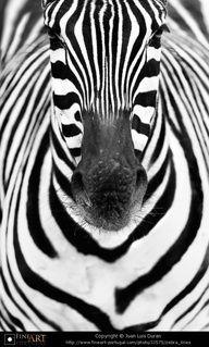...Or, white with black stripes? Zebra by © Juan Luis Duran