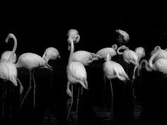 The Noiselessness by Abhisalid Tanarojpiyatach on Flamingo, Animals, Flamingo Bird, Animaux, Animales, Flamingos, Animal, Greater Flamingo, Dieren