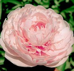 """34"""" tall - gorgeous! Klehm's Song Sparrow Farm and Nursery--Peonies/Paeonia--'Reine Deluxe'"""
