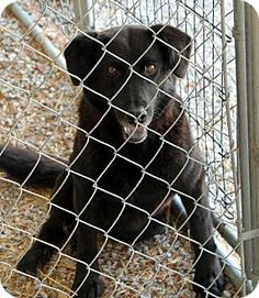 Gone  Still alive and hoping Urgent rural kill shelter not many adoptions adopt or rescue needed Sparta, TN - Labrador Retriever Mix. Meet Tansy a Dog for Adoption.
