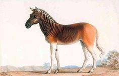 Painting by Nicolas Marechal:  Quagga stallion in Louis XVI's menagerie at Versailles, 1793 - from Wikipedia
