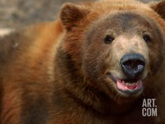 Close-up of Brown Bear Photographic Print by Elizabeth DeLaney at Art.com