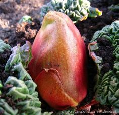 Perennial or annual? From seed or from a crown? How do you want to grow your rhubarb? This guide tells you how to grow rhubarb either way you want. Red Plants, Nature Plants, Rhubarb Health Benefits, Rhubarb Juice, Red Rhubarb, Homemade Fruit Leather, Growing Rhubarb, Rhubarb Plants, Perennial Vegetables