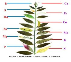 Leaf Illustrations and Charts to Help Diagnose Plant Nutrient Deficiencies