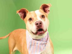 You may remember Diamond from a couple of weeks ago.  Diamond is an 8 year old senior Pit Bull Terrier dog still waiting for a forever home. She's at the HSMO St Louis City animal shelter and her animal ID number is A593617.