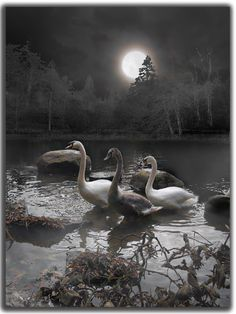 Moonlight Swim, Swan Pond, West Virginia – Amazing Pictures - Amazing Travel Pictures with Maps for All Around the World Beautiful Moon, Beautiful Birds, Beautiful Pictures, Shoot The Moon, Moon Magic, Moon Art, Stars And Moon, Full Moon, Belle Photo