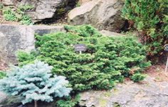 Find Calgary Carpet Juniper (Juniperus sabina 'Calgary Carpet') in Strathmore Calgary Drumheller Brooks Okotoks Alberta AB at Eagle Lake Nurseries Inver Grove Heights, Eagle Lake, Full Size Photo, Garden Inspiration, Garden Ideas, Garden Centre, Evergreen Shrubs, Color Of Life, Bright Green