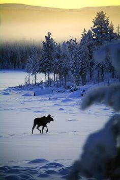 A moose in winter landscape, Sweden.  (Another pinner had said 'elk'.  'Moose' is 'älg' in Swedish.)