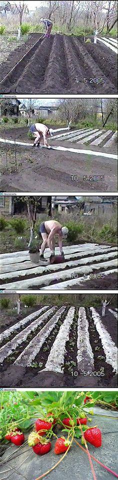 Обмен опытом: выращивание садовой земляники (клубники)..   Выращивание земляники   Постила